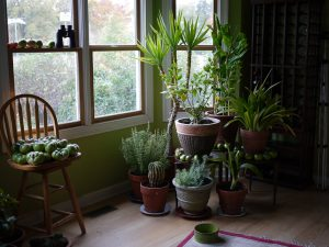 Green potted plants in a living room beside the windows